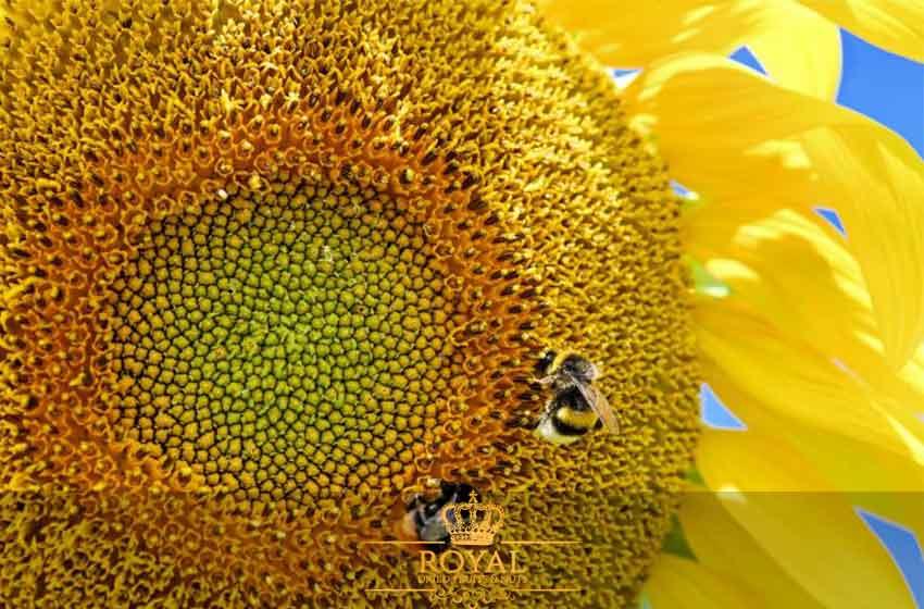 تخمه آفتابگردان-گل آفتباگردان